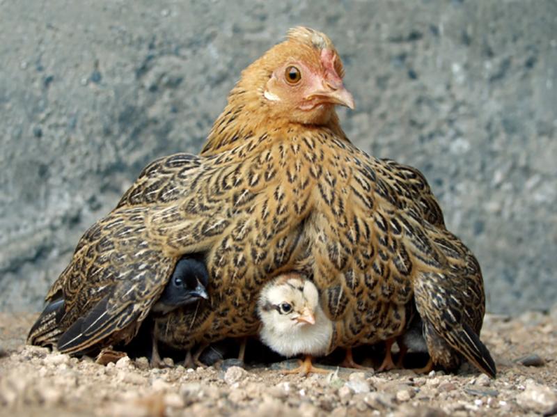 Momma Hen